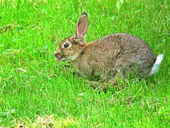 What Do Wild Rabbits Eat