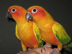 Conure Parrot for Sale