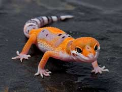 Geckos As Pets