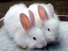 Pet Rabbits For Sale