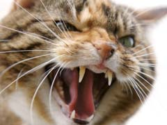 Cat Aggression Towards People