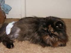 Cat Bladder Infection