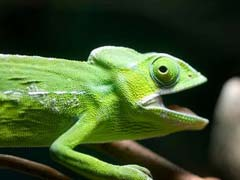 Chameleon Pet Facts