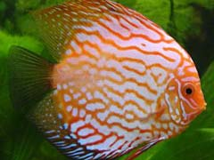 Discus Fish Diseases