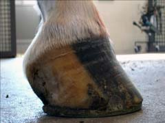 Navicular Disease in Horses