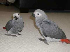 African Grey Parrot Care