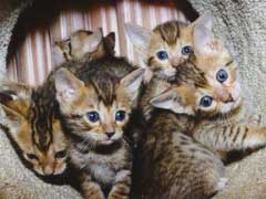A Bengal Cats Personality Bengal Cat Personality Traits