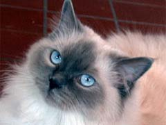 7 Interesting Facts About Ragdoll Cats